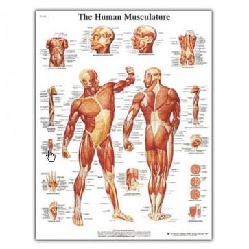 Anatomy chart - Muscular system