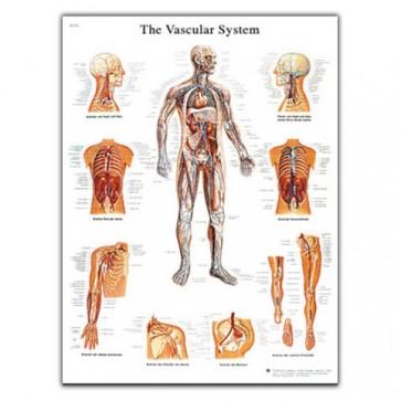 Anatomy chart - Vascular system