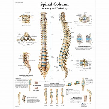 Anatomy chart - Human spine