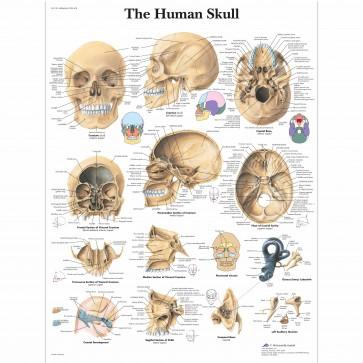 Anatomy chart - Human skull
