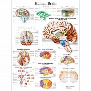 Anatomy chart - Human brain