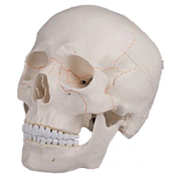 Standard human skull model, single-piece A-20