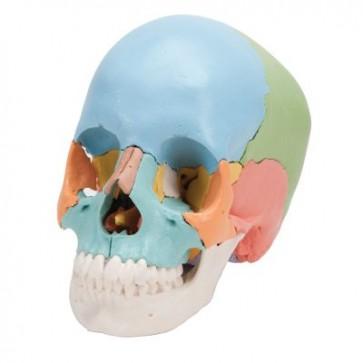 Model ljudske lubanje - Didaktička, od 22 dijela
