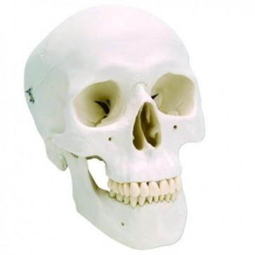 Klasični model ljudske lubanje | trodijelni