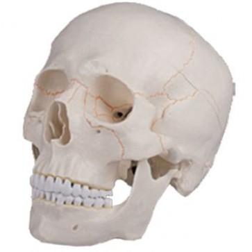 Klasični model ljudske lubanje | jednodijelni i trodijelni