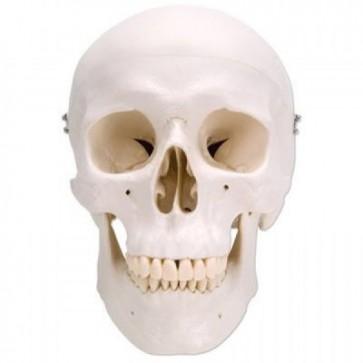 Klasični model ljudske lubanje