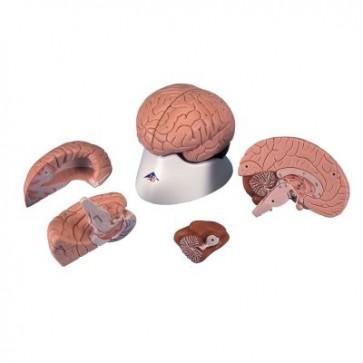 Anatomski model mozga, 4 dijela