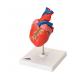 Anatomical two-piece heart model (Delivery within 10 days)